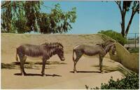 Zebras stand near their moat at the San Diego Zoo