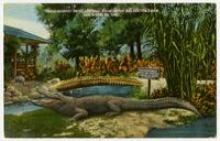 """Okeechobee"", 500 years old, California Alligator Farm, Los Angeles, Cal."