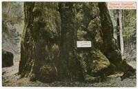 """General Sherman"" Big Tree in California"